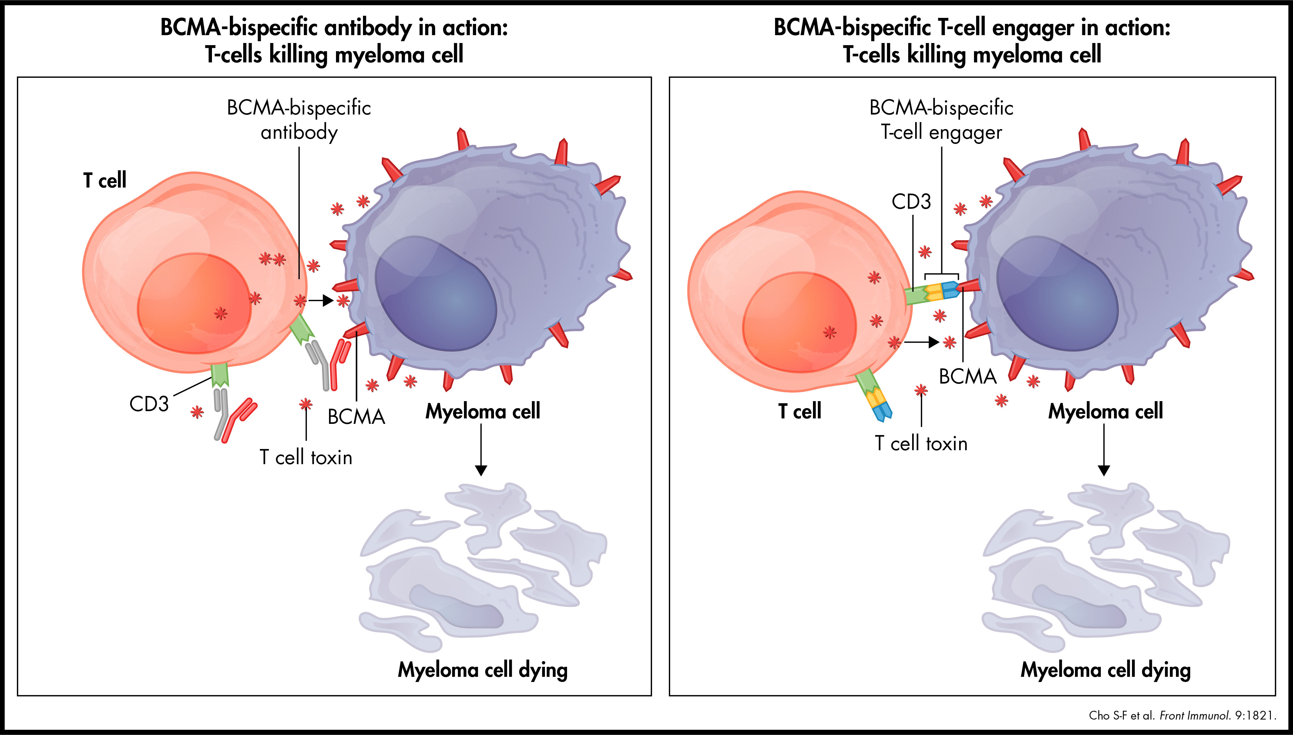 BCMA-bispecific antibody and T-cell engager in action: T-cells killing myeloma cell.
