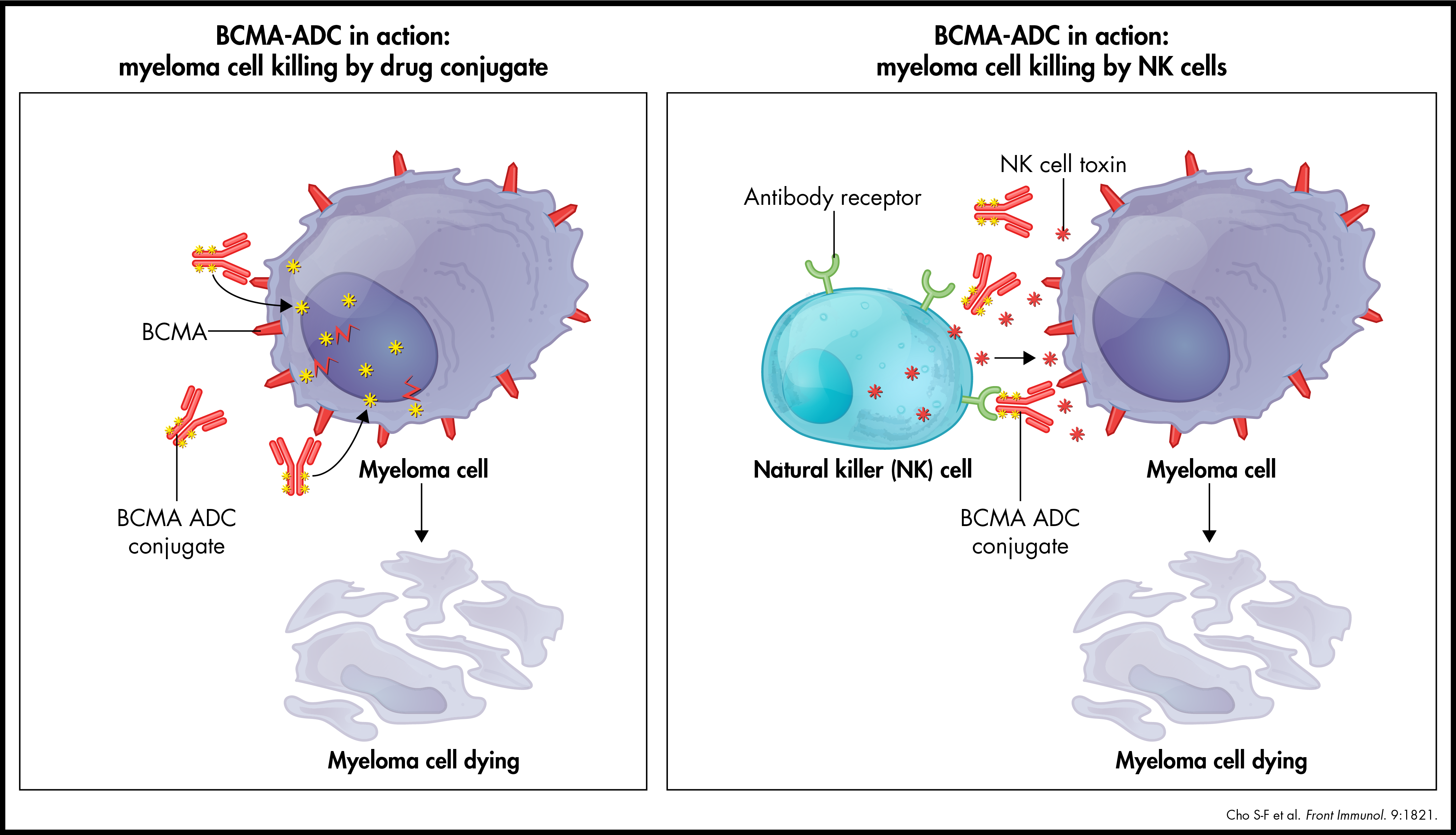 BCMA-ADC in action: myeloma cell kiling by drug conjugate and NK cells